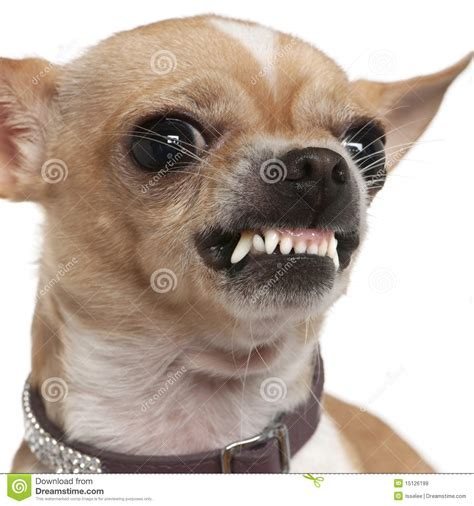 Close-up Of Angry Chihuahua Growling, 2 Years Old Stock